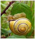 Yellow snail with black stripe