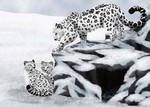Snow Leopards by Valkyrie99