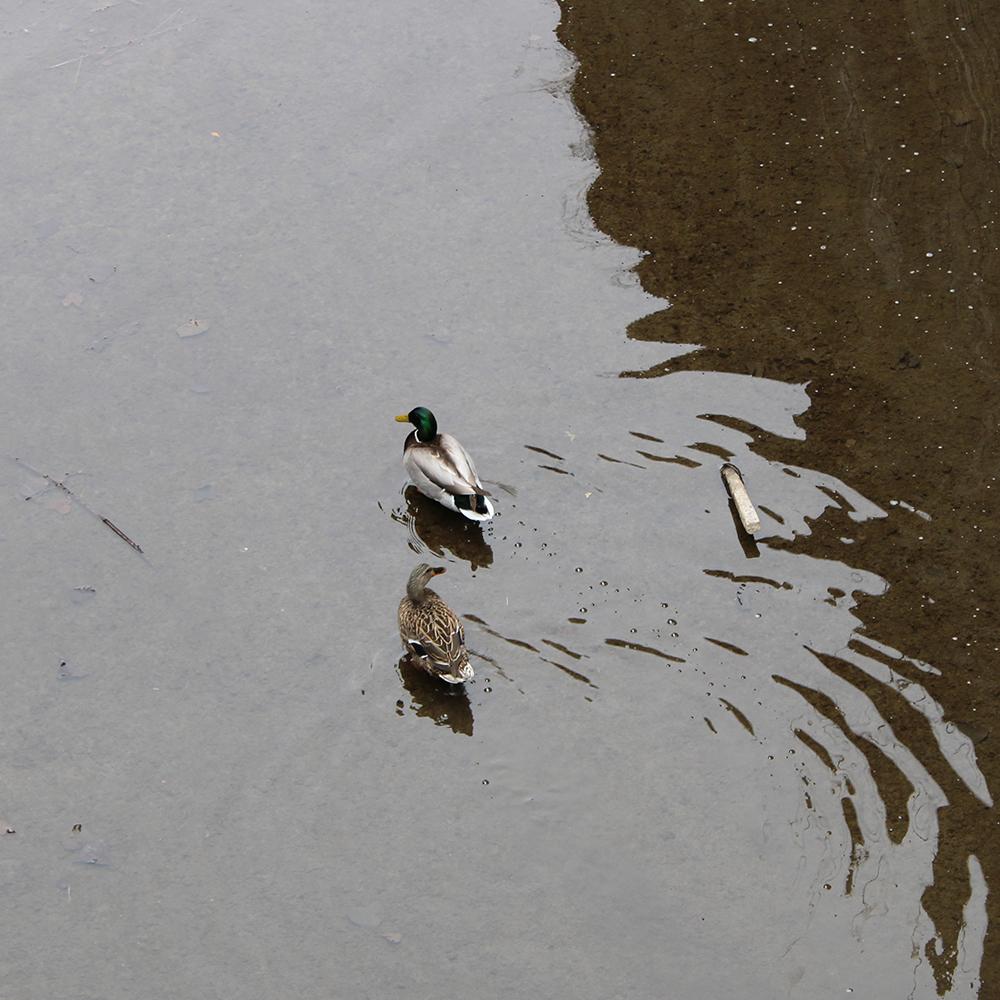 Canal Ducks