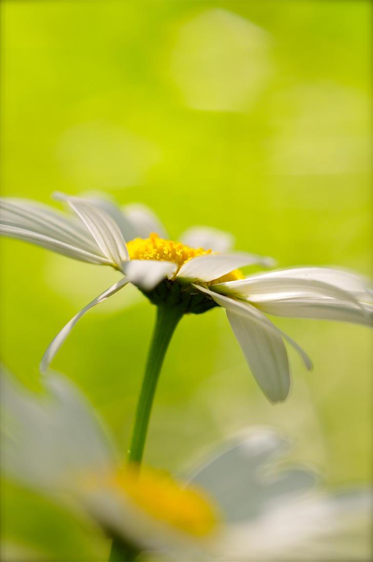 a daisy by Kapaska