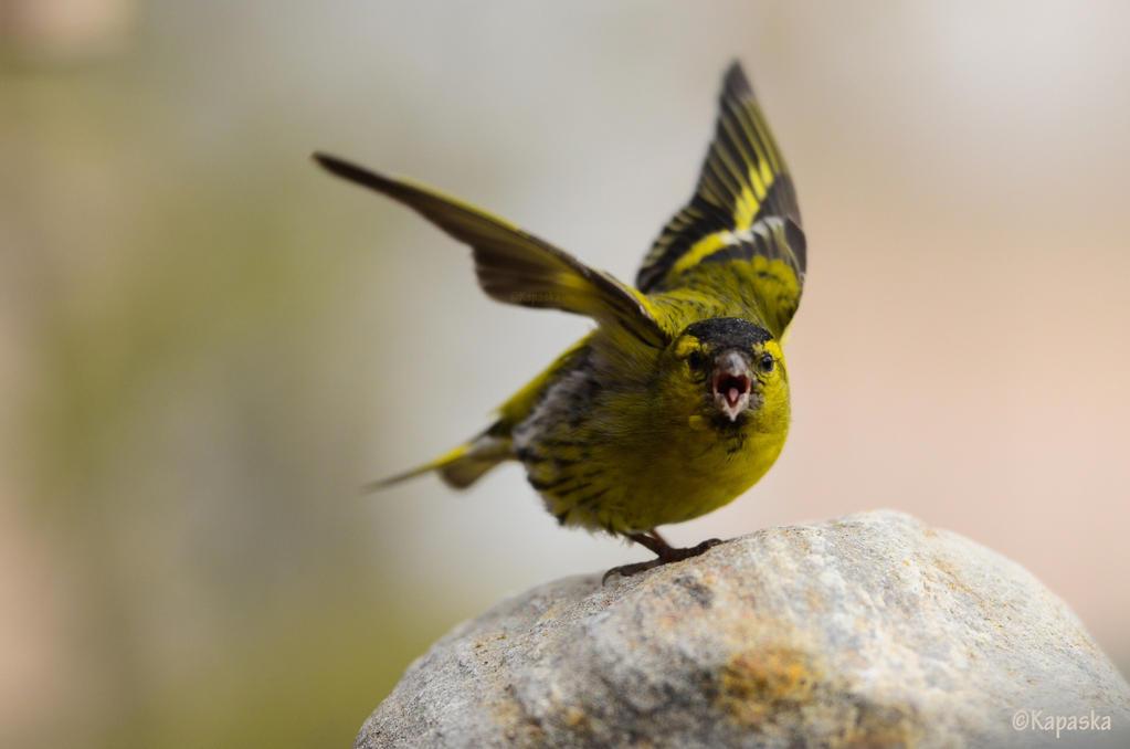 Angry bird by Kapaska