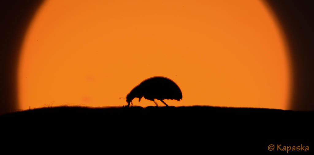 A ladybug in a sun set by Kapaska