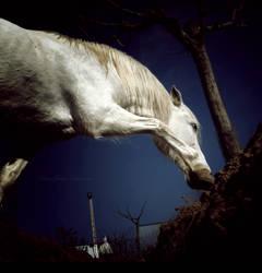 Blanco by Equuskath