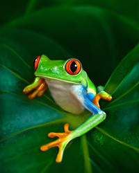 Red-Eyed tree frog - Study