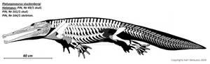 Platyoposaurus stuckenbergi