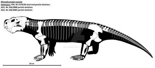 Rhinodicynodon gracile