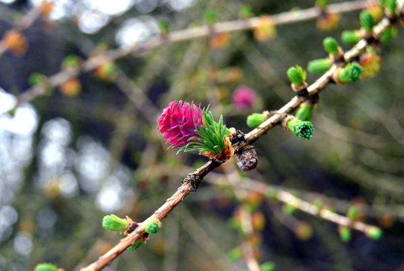 Larch Bloom by Jnqbus