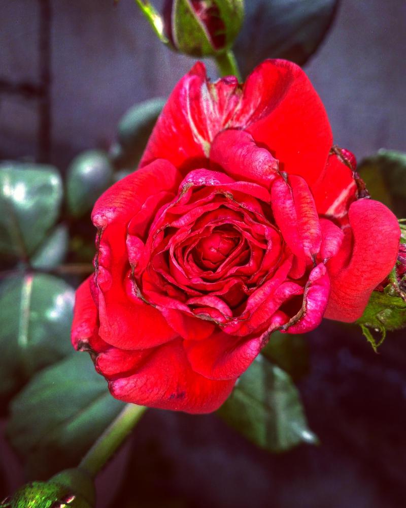 Gentle rose by DaniBRUTALStar