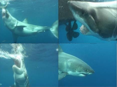 White Shark I