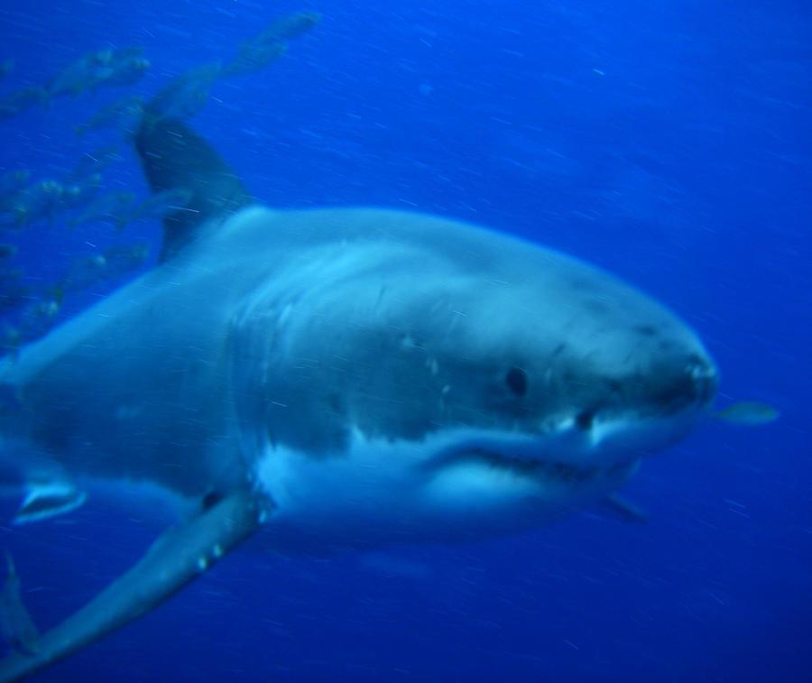 Great White Shark IV by BioHazardSystem