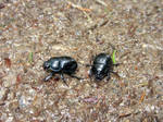 Dance Of The Beetles