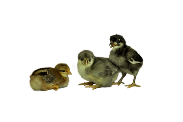 Baby Chicks by Lagrife70