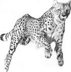 Cheetah (pencil work)