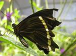 butterfly by sotisse