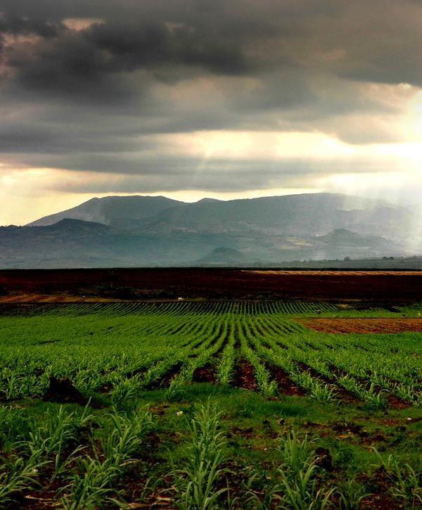 Pineapple farm by redox2252