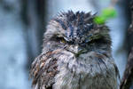 Eulenschwalm /  Tawny Frogmouth