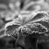 frost. by Bucikah