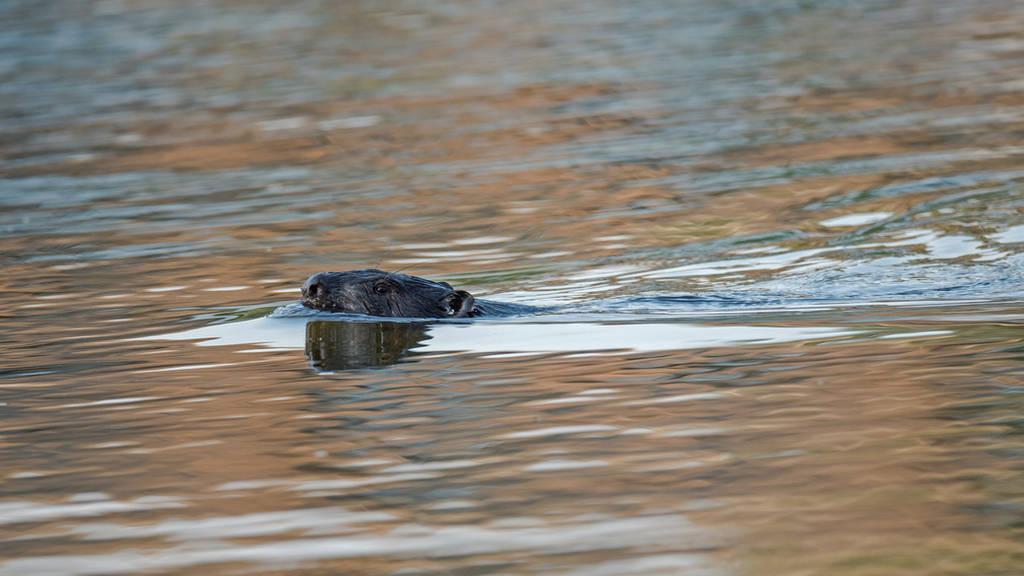 meeting the beaver by Wirikos