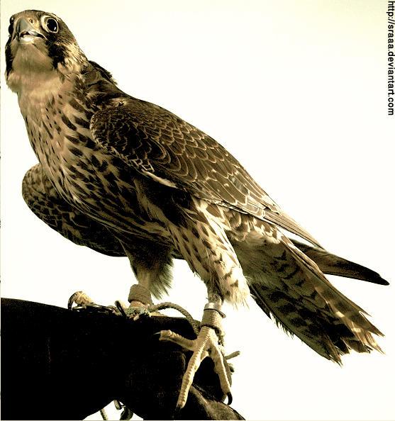 Falcon by sraaa