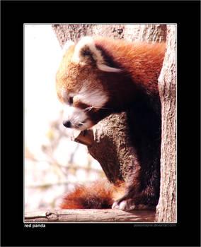 Red Panda Redone No. 2