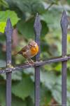 Robin by mcastiello