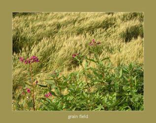 grain field by poppyflower