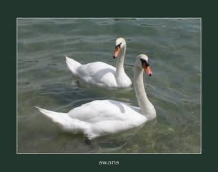 swans by poppyflower