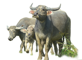 Buffalo ( Stock PNG ) by Cucu-Fuang