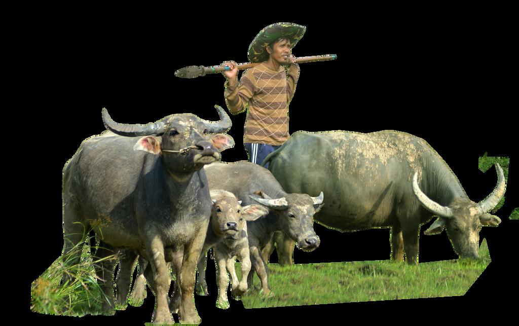 Buffalo ( Stock PNG )