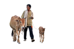 Cow ( Stock PNG )