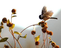 Chickadee Flutters wings Sunfl by houstonryan