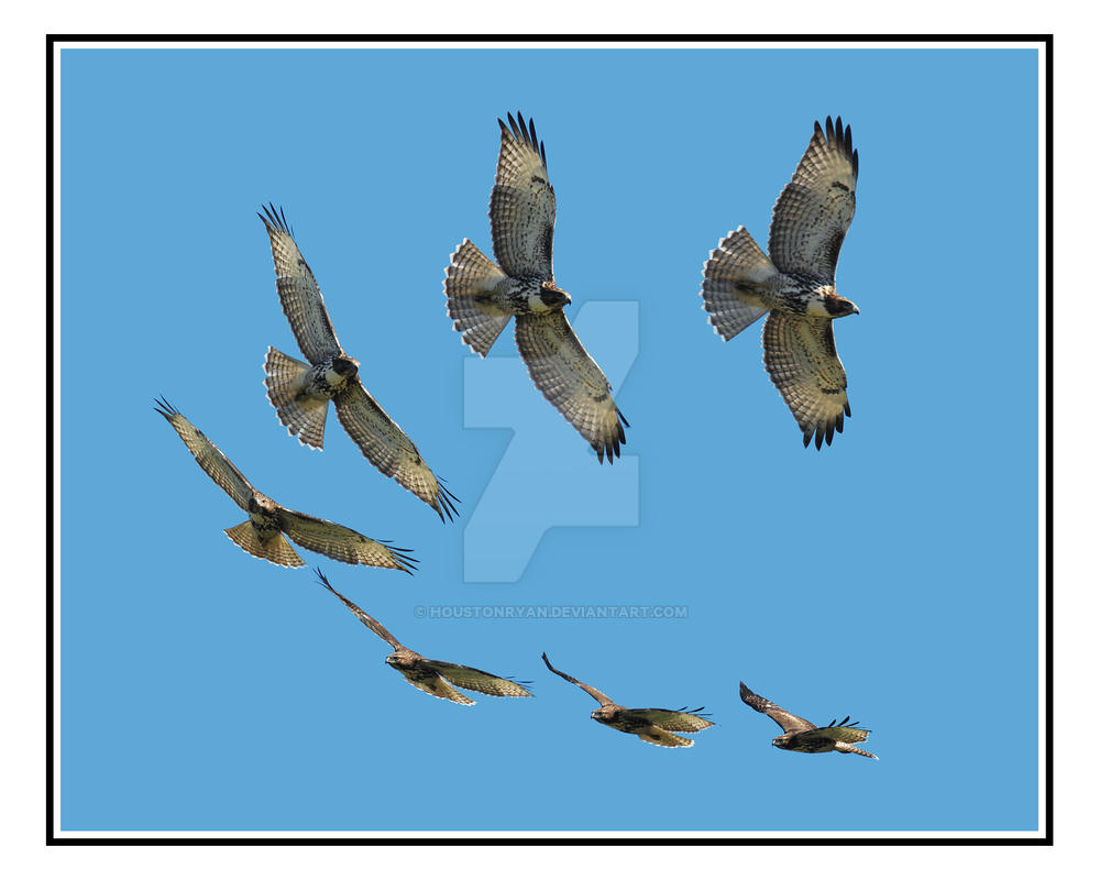 Redtailed Hawk Fly Composite by houstonryan