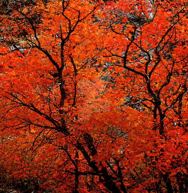 Orange Tree Fall Color...