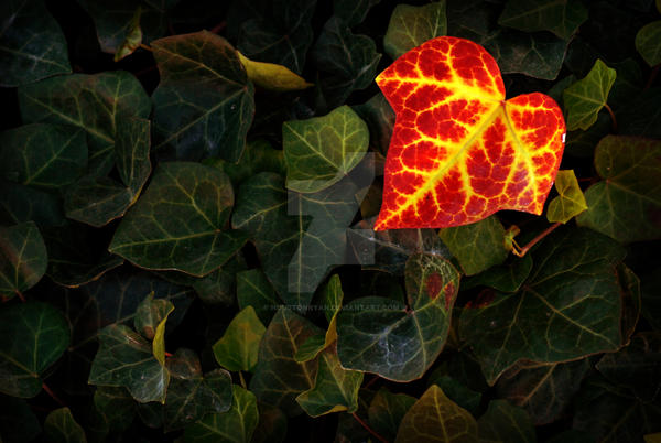 red yellow ivy leaf green leaf by houstonryan