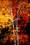 Gold Aspen Red Maple Together