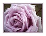 Purple Lavendar Rose Rain Drop