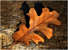 Oak Leaf Reddish Hue Autumn