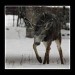 Mule Deer Buck Christmas Eve 1