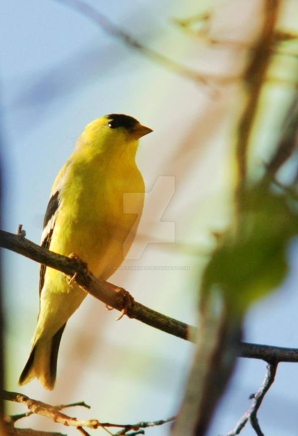 American Goldfinch Gradient II by houstonryan