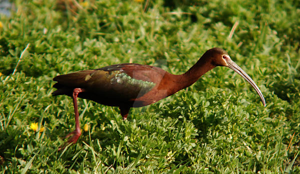 White FAced Ibis in Field by houstonryan