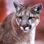 Mountain Lion, Hogle Zoo, SLC by houstonryan