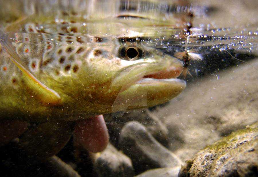 how to catch german brown trout