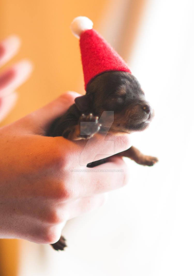 Santa Puppy Yorkshire Terrier by houstonryan