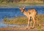 Riverside Kudu