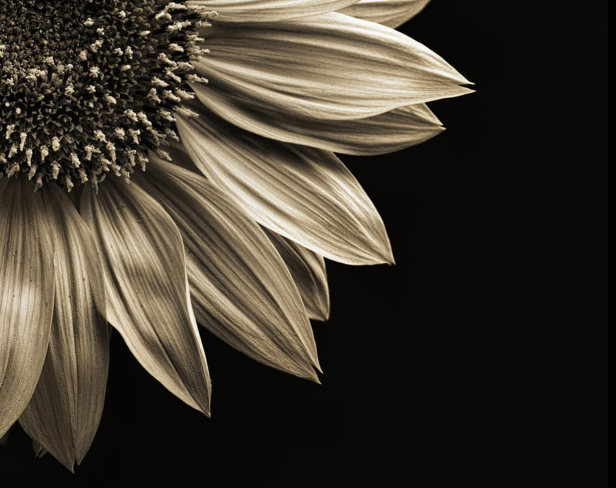 Sunflower by Lightkast