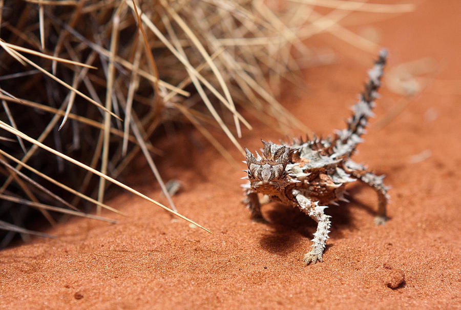 Thorny Devil by Lightkast