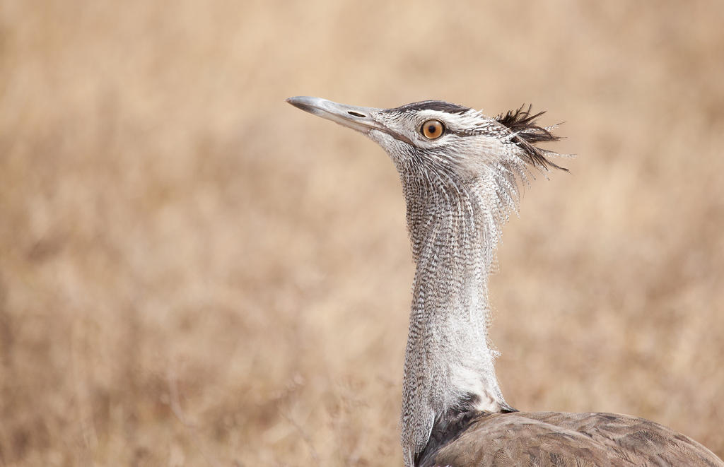 Kori Bustard by Lightkast