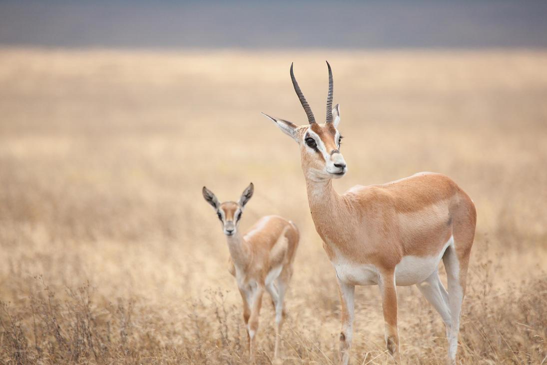 Grant's Gazelles by Lightkast