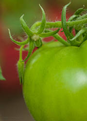 Baby Tomatoes 05 by Suinaliath