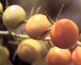 Baby Tomatoes 03 by Suinaliath